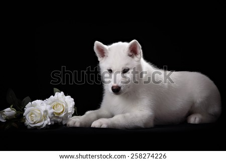 white siberian husky puppy and white rose