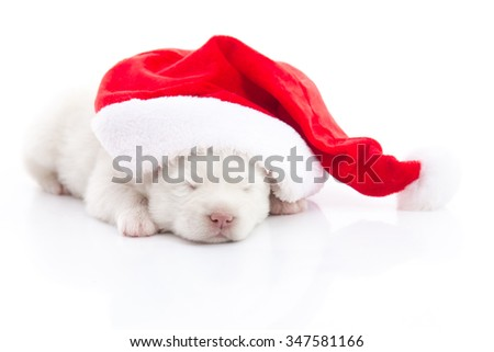 White Siberian husky puppy in Santa Claus xmas red hat on white background isolated