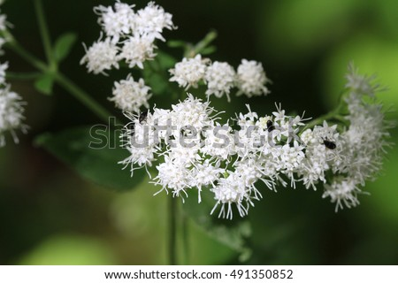 White Snakeroot Flower
