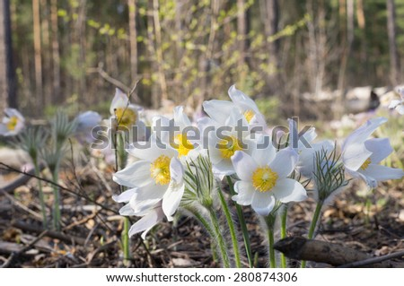 white snowdrop flower blooming in spring forest - stock photo