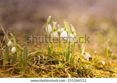 white snowdrops in the spring raindrops - stock photo