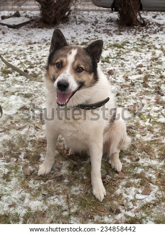 White spotted dog on leash sitting on background grass and snow - stock photo
