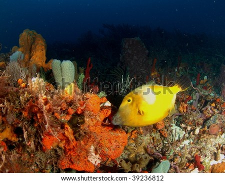 white spotted filefish - stock photo