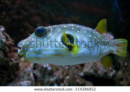 White-Spotted puffer, Arothron Hispidus, aquarium fish