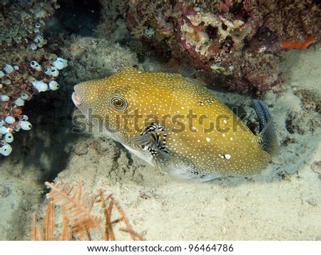 White Spotted Puffer Fish (Arothron hispidus) with corals underwater in Indo-Pacific Ocean, Indonesia. - stock photo