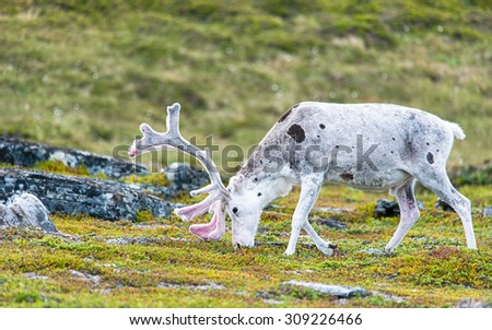 White spotted reindeer grazing arctic vegetation - stock photo