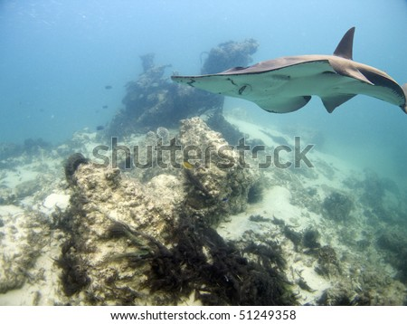 White-Spotted Shovelnose Ray (Rhynchobatus djiddensis) swimming over coral reef and wreck.  - stock photo