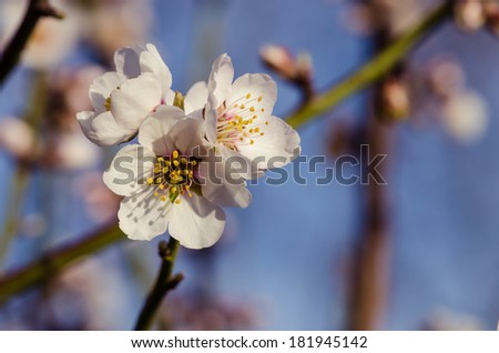 white spring blossoming flower background