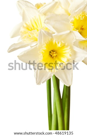 White Spring Daffodil Flower Bunch Isolated on White Background