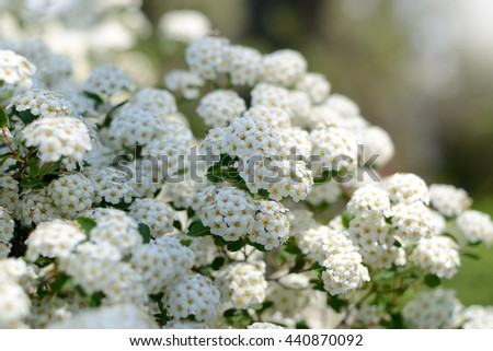 White spring flowers background with Spiraea cantoniensis. Blooming bush under bright sunlight - stock photo