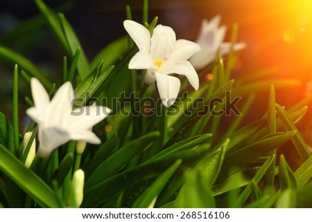 white spring flowers Chionodoxa blooming in the garden with sun rays soft focus - stock photo