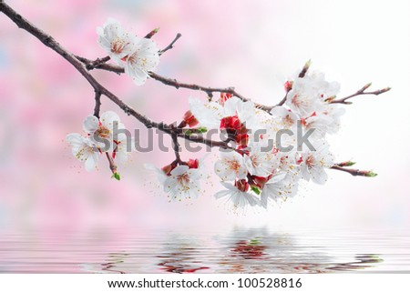 white spring flowers on a tree branch over pink bokeh background on water waves