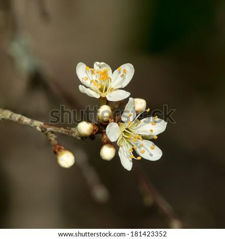 White Springtime blossom in sunlight - stock photo