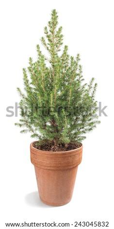 white spruce plant in vase isolated on white - stock photo