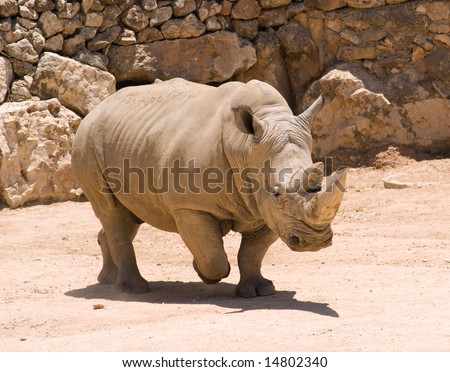 White (square-lipped) rhinoceros (Ceratotherium simum) in Jerusalem Zoo