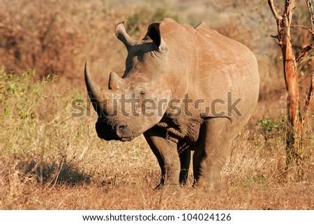 White (square-lipped) rhinoceros (Ceratotherium simum), Kruger National Park, South Africa - stock photo
