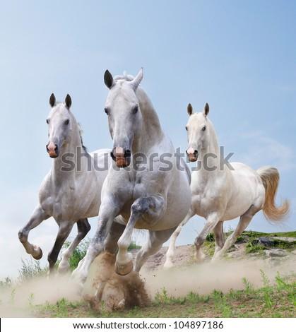 white stallions in dust running - stock photo