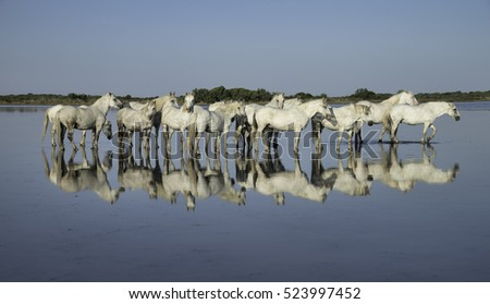 White Stallions Standing in the Water Creating a Beautiful Reflection