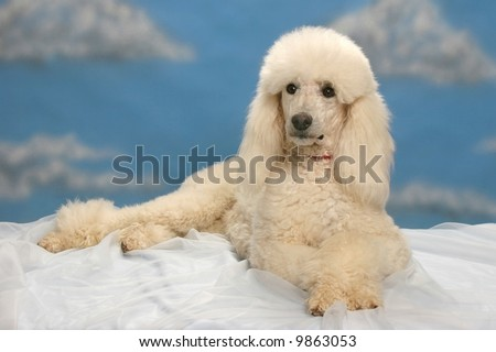 White Standard Poodle - stock photo