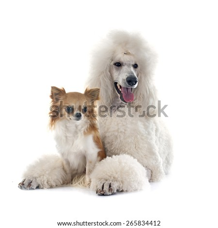 white Standard Poodle and chihuahua in front of white background - stock photo