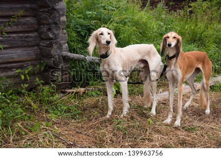 White standing and brown standing salukies   - stock photo