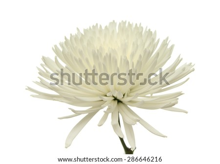 white star  Chrysanthemum isolated on white background - stock photo
