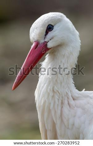 white stork - Ciconia ciconia - stock photo