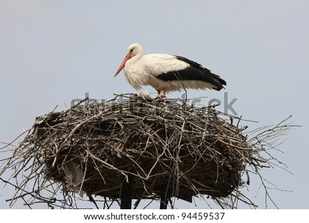 white stork Ciconia ciconia in Hungary - stock photo