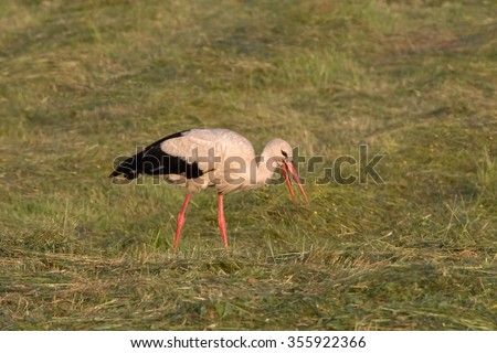 White stork (Ciconia ciconia) on the field - stock photo