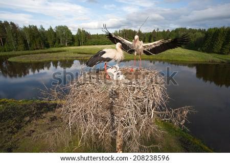 White stork family in action - stock photo