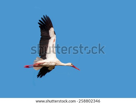 White Stork flying with blue sky  - stock photo