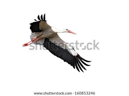 White Stork  Isolated on white.  - stock photo