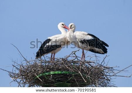 White Stork on nest in spring - stock photo