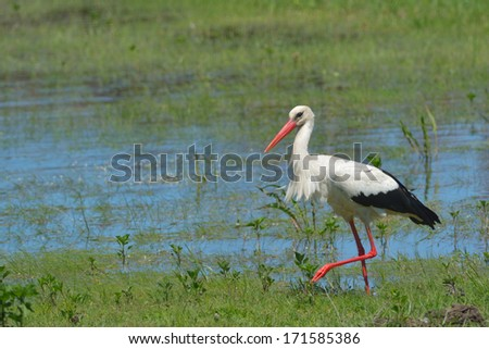 White stork searching food near water - stock photo