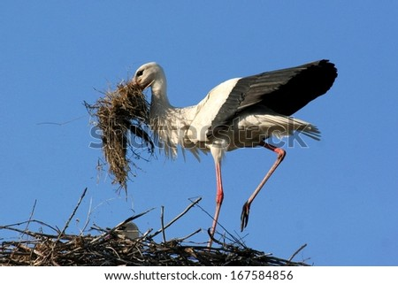 White stork with any materials about making nest - stock photo