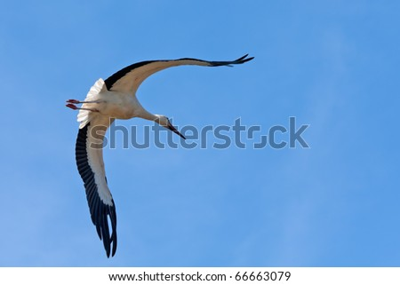 White Storks hovering with wide opened wings in the blue sky - stock photo
