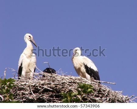 white storks in nest - stock photo