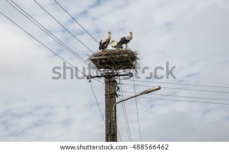 White storks in small village in Poland