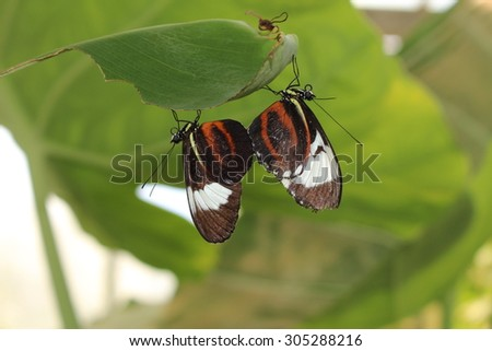"""White striped, two black """"Cydno Longwing"""" butterflies in Innsbruck, Austria. Its scientific name is Heliconius Cydno, native from Mexico to northern South America. (No Photoshop) - stock photo"""