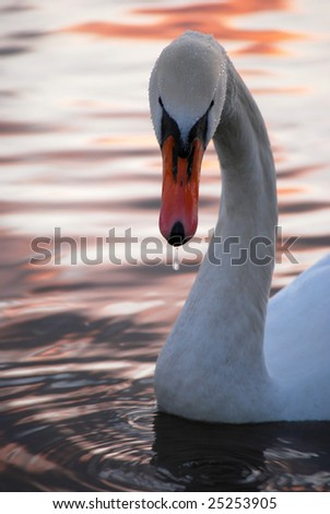 white swan at sunset - stock photo