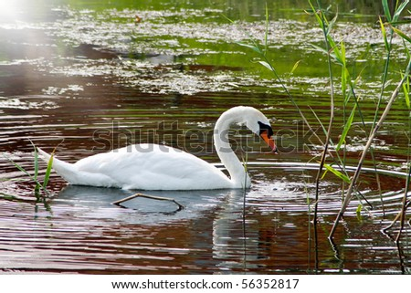 White Swan by the lake - stock photo