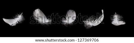 white swan feather on the black background - stock photo