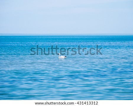 white swan floating in the blue water of the Black Sea, near Sozopol town, Bulgaria - stock photo