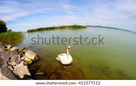 White swan floating on a clean  water. Apply a fisheye lens. - stock photo