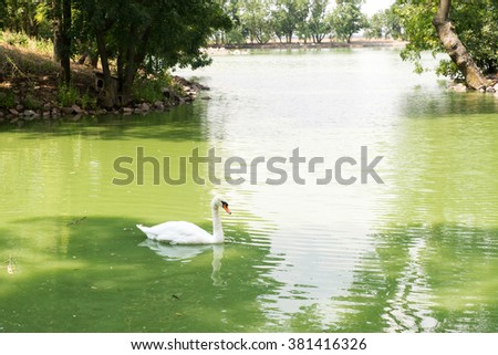 white swan floating on a clear blue water, a pond in a city park, nature reserve Askania Nova in Ukraine