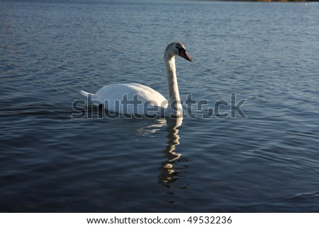 White swan floating on the surface of a lake
