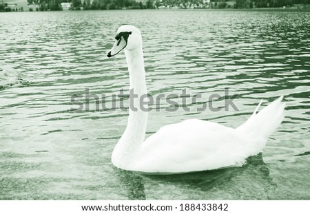white swan in a calm lake  - stock photo