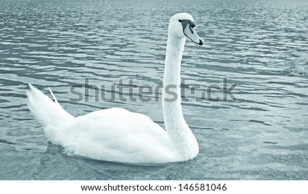 white swan in a lake - stock photo