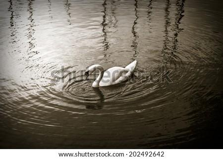 White swan in sepia background - stock photo