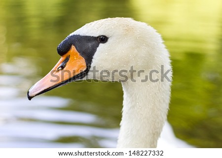 White swan macro with waterdrops in the feathers - stock photo